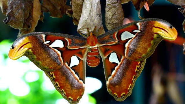 vídeos y material grabado en eventos de stock de mariposa - especie en peligro de extinción