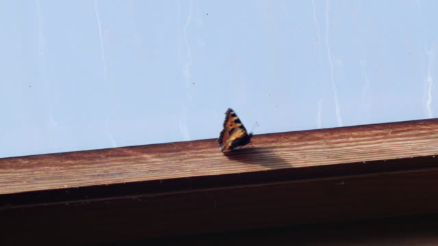 a butterfly with black and orange wings walks along the wooden frame of a window in a workshop, uk. - trapped stock videos & royalty-free footage