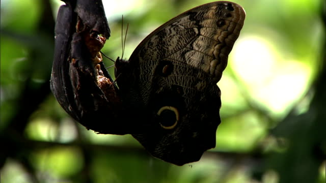 a butterfly with eye markings on its wings feeds on decaying fruit. - feeding stock videos & royalty-free footage