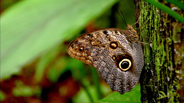 a butterfly with eye markings on its wings flies from a mossy tree trunk. - costa rica stock videos & royalty-free footage