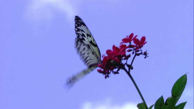 ZI Butterfly with translucent two-tone wings fluttering its wings on red flower and another one flying