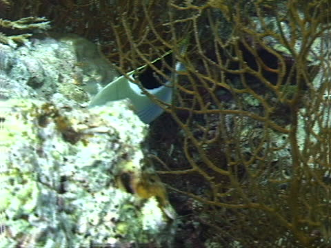 butterflyfish and branching coral - tierisches exoskelett stock-videos und b-roll-filmmaterial