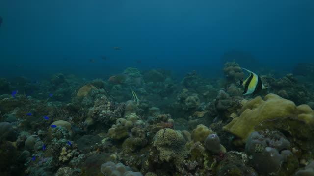 butterflyfish, damselfish swimming in coral reef, tulamben, bali, indonesia (4k) - butterflyfish stock videos & royalty-free footage