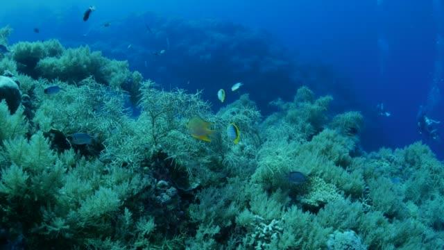 butterflyfish, damselfish, tropical coral reef - butterflyfish stock videos & royalty-free footage