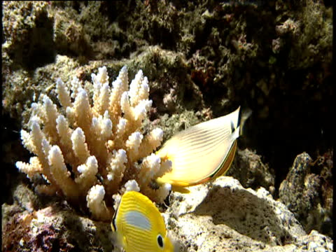 butterflyfish eat coral, lizard island - coral stock videos & royalty-free footage