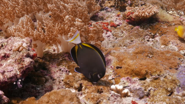 Butterflyfish eating seaweed undersea in coral reef