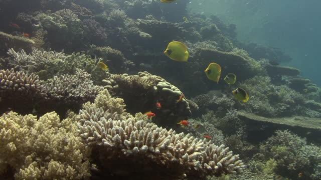 butterflyfish - butterflyfish stock videos & royalty-free footage