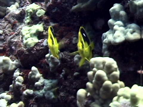 butterflyfish - tierisches exoskelett stock-videos und b-roll-filmmaterial
