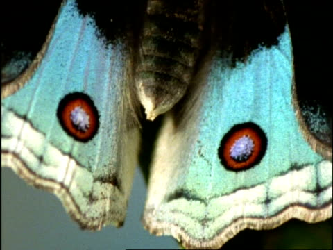 ecu butterfly's wings open to reveal eye spots, australia - schwingen stock-videos und b-roll-filmmaterial