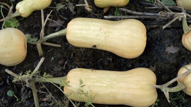 Butternut Squash curing in Autumn