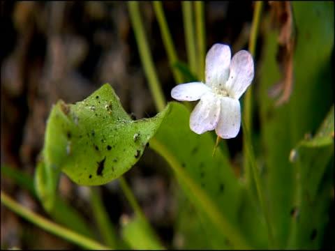 vídeos y material grabado en eventos de stock de butterwort (pinguicula sp) - carnivorous plant flower, parque natural sierras de cazorla, segura y las villas (jaen), andalucia, spain - carnivorous plant