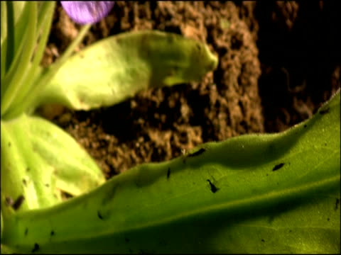 butterwort (pinguicula sp) - carnivorous plant, tilt from leaf to flower, parque natural sierras de cazorla, segura y las villas (jaen), andalucia, spain - 長さ点の映像素材/bロール