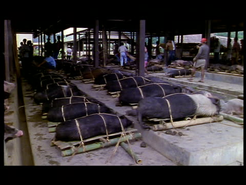 buyers walk past hogs tied to pallets. - maiale ungulato video stock e b–roll