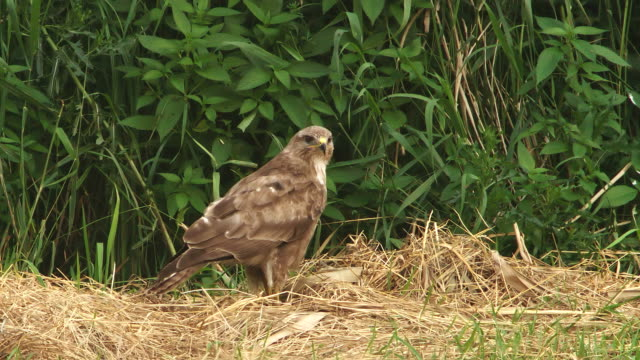 buzzard after swallowing mouse - southern hemisphere stock videos & royalty-free footage