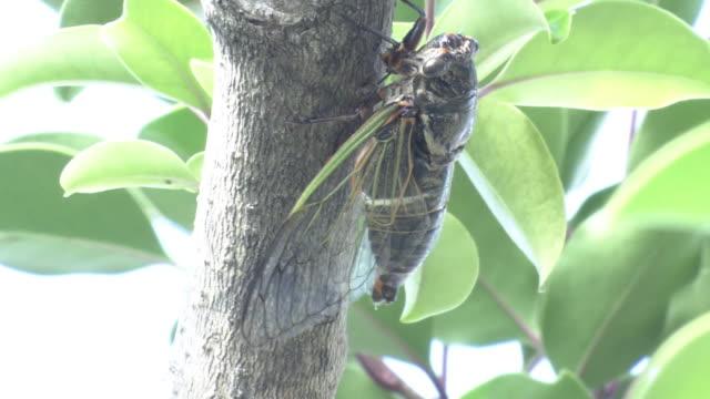 cu, a buzzing male cicada kagawa, japan - asia stock videos & royalty-free footage