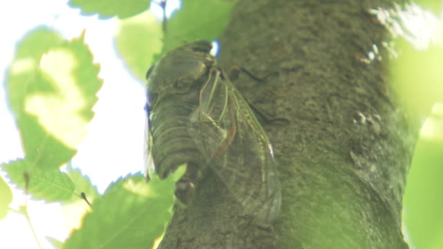 cu, a buzzing male cicada, kumamoto, japan - buzzing stock videos & royalty-free footage