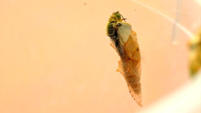 vidéos et rushes de papillon feuille de rompre le pupa - cocon
