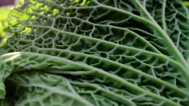 Cabbage Cam...