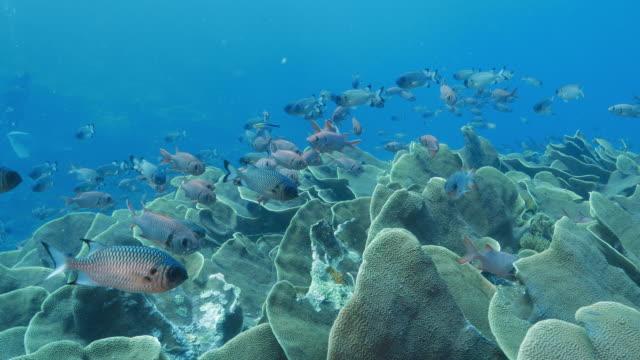 Kool koraal kolonie, school van grootoogtonijn vissen