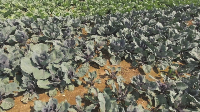 cabbage field in summer close-up flyover - red cabbage stock videos & royalty-free footage