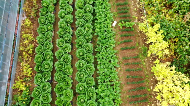 cabbage patches on highland / gangwon-do, south korea - crucifers stock videos & royalty-free footage