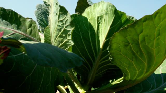 cu cabbage plants growing on farm, kwazulu natal, south africa - crucifers 個影片檔及 b 捲影像