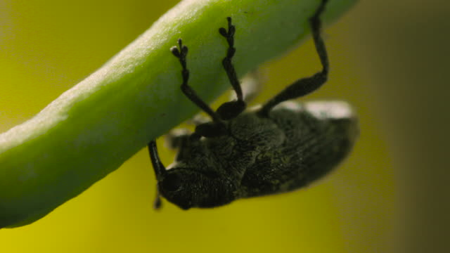 cabbage seed pod weevil feeds on oilseed rape, uk - animal nose stock videos & royalty-free footage