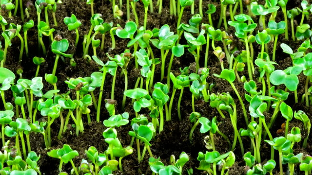 Cabbage seedlings sprout.