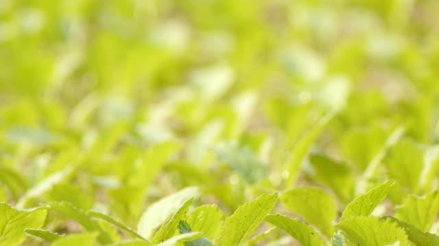 cabbage seedlings - crucifers stock videos & royalty-free footage