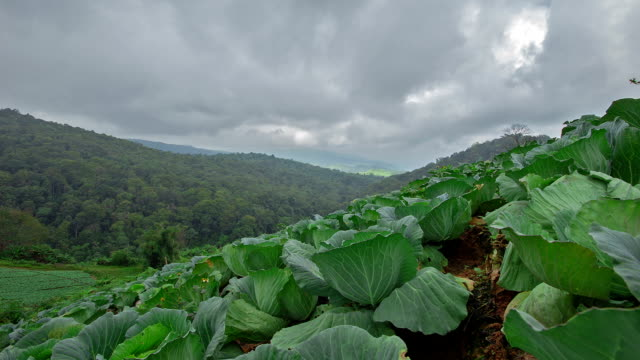 cabbage - cabbage stock videos and b-roll footage