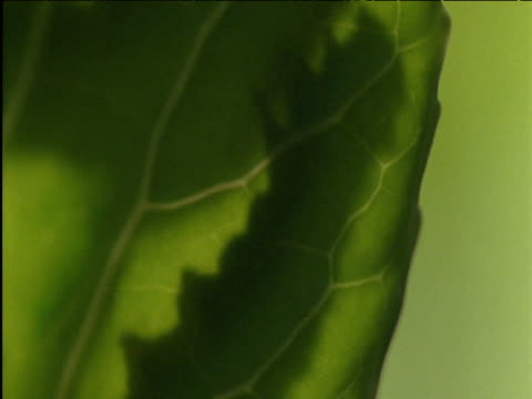 cabbage white butterfly caterpillar peers around cabbage leaf uk - cabbage stock videos and b-roll footage