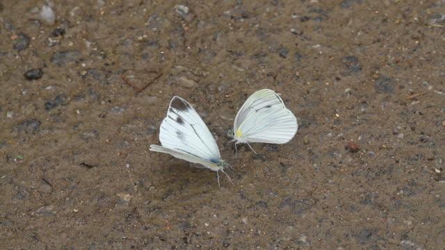 cabbage white butterfly (pieris rapae) drinking water - gliedmaßen körperteile stock-videos und b-roll-filmmaterial