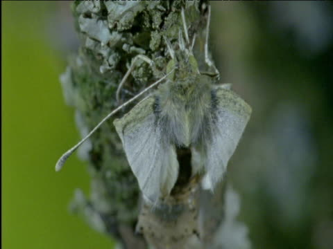 cabbage white butterfly emerges from its chrysalis - animal antenna stock videos & royalty-free footage