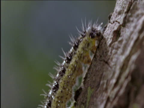 cabbage white caterpillar clambers up tree trunk uk - cabbage stock videos and b-roll footage