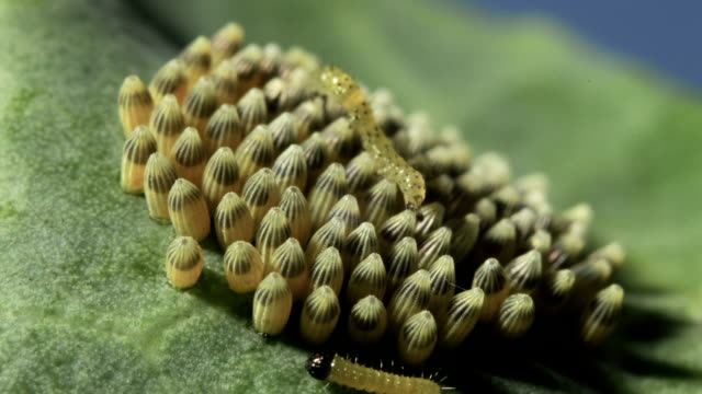 cabbage white caterpillars hatching - egg stock videos & royalty-free footage
