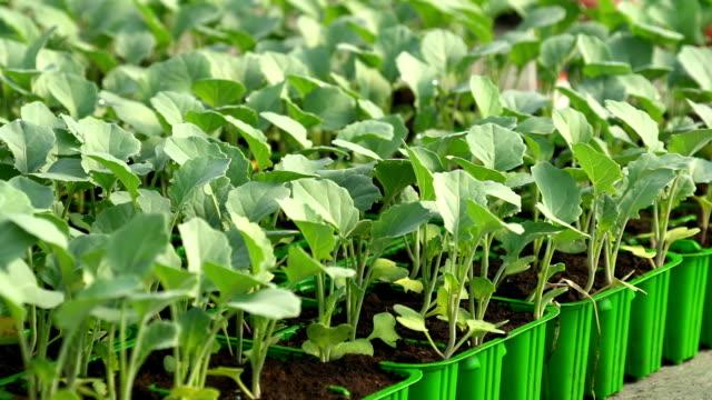 vídeos de stock, filmes e b-roll de hd dolly: repolho jovem plantas - processo vegetal