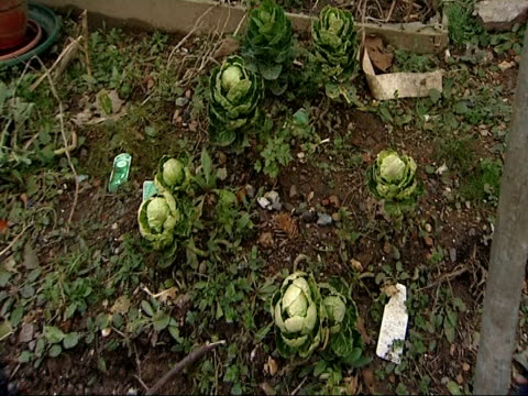 cabbages grown on allotment unidentified man interview sot - crucifers stock videos & royalty-free footage