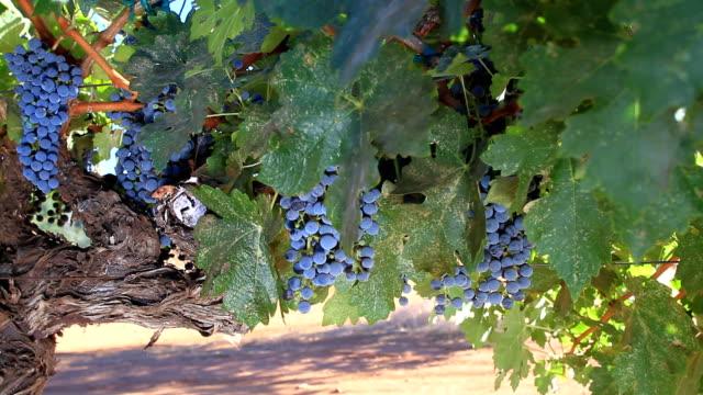 vídeos y material grabado en eventos de stock de cabernet sauvignon uvas - uva cabernet sauvignon