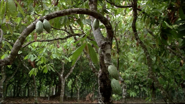 Cacao beans hang from a tree. Amazon-jungle