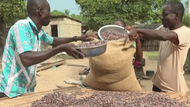 cacao farmers across ivory coast, the world's biggest producer of the key ingredient for chocolate, are down in the mouth after prices for their... - agriculture stock videos & royalty-free footage