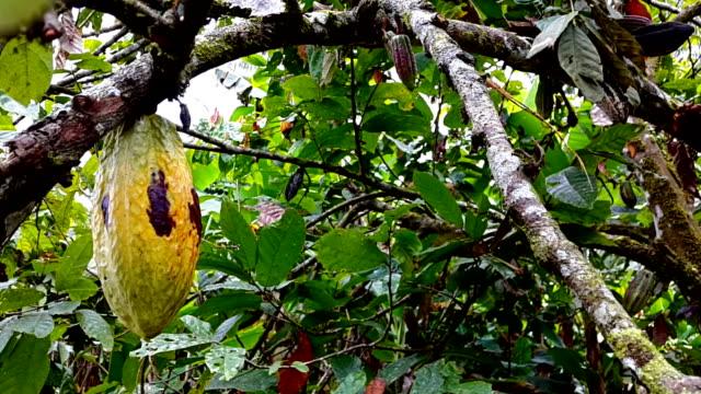 cacao en el árbol de ecuador