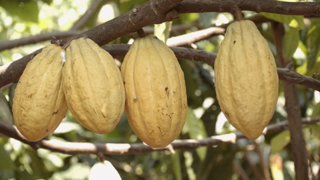 cacao pod close-up trucking. - botany stock videos & royalty-free footage