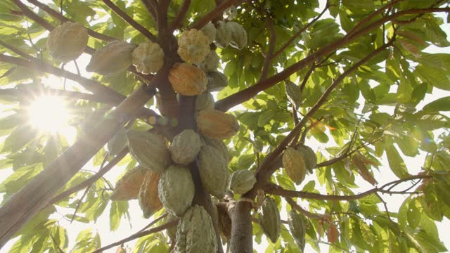 cacao pod with sun flare. - harvesting stock videos & royalty-free footage