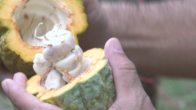 cacao tree (theobroma cacao). organic cocoa fruit pods in nature. - bean stock videos & royalty-free footage