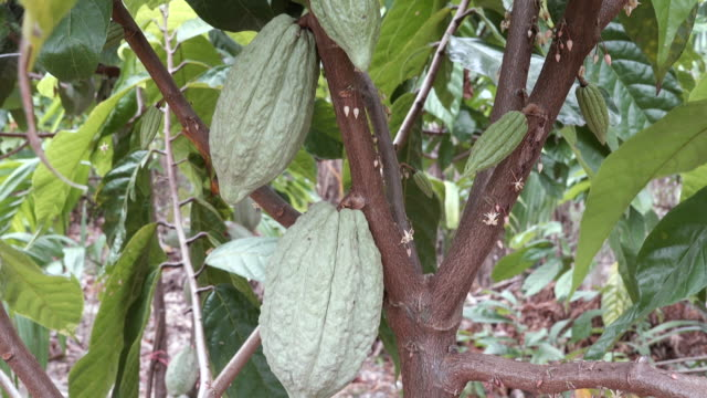 TU:Cacao Tree (Theobroma cacao). Organic cocoa fruit pods in nature.