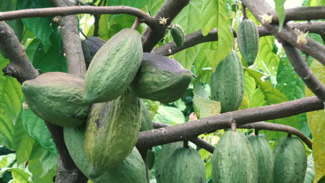 ZO:Cacao Tree (Theobroma cacao). Organic cocoa fruit pods in nature.