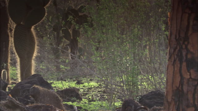 cacti and scrub trees thrive on the galapagos islands. available in hd. - shrubland stock videos & royalty-free footage