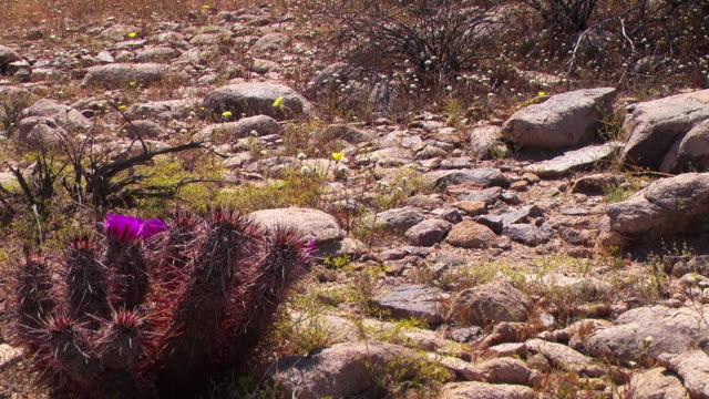 Cacti bloom among the rocks in an arid valley in Joshua Tree National Park.
