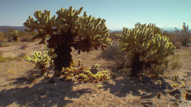 cacti bloom in joshua tree national park. - joshua tree national park stock videos & royalty-free footage