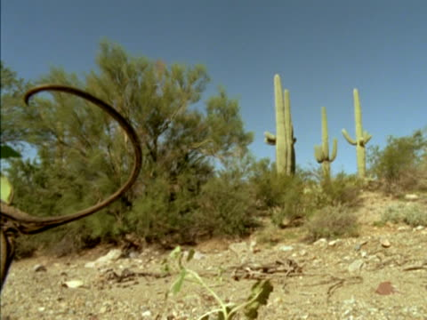 vídeos de stock, filmes e b-roll de mwa cacti in desert, pan left to seed of devil's claw, sonora, usa - sesame